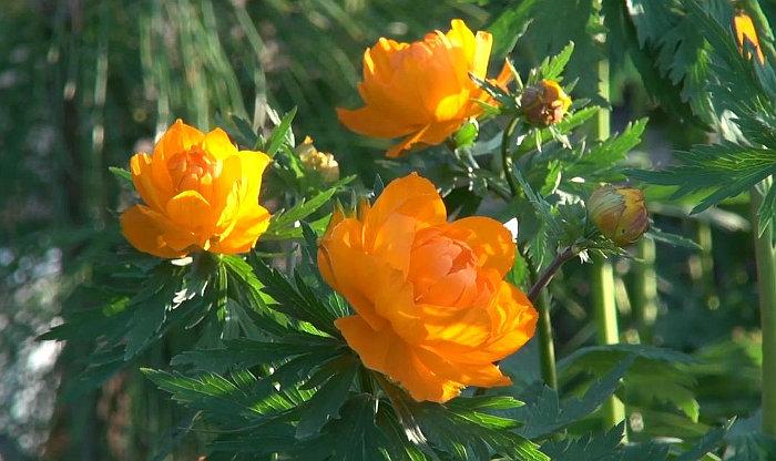 Растения Горного Алтая