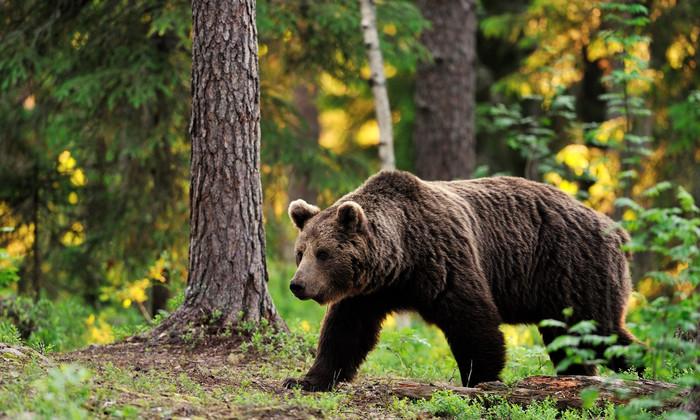 Медведи на Алтае