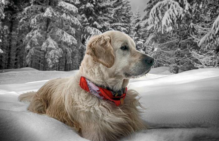 В Шерегеш с животными: с собакой, можно или нет?